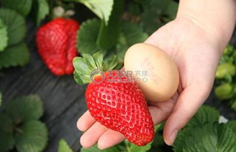 赤霉素处理的草莓