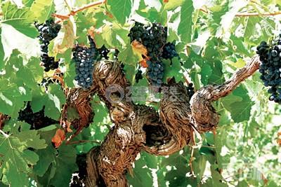 赤霉素处理的葡萄