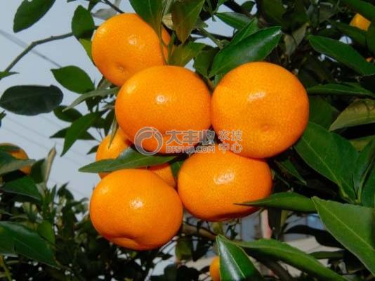 赤霉素处理的柑橘